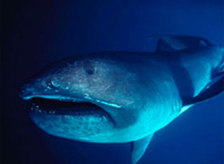 June Elasmobranch of the Month: Megamouth Shark