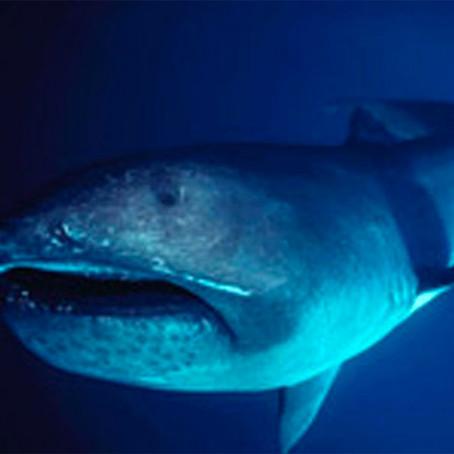June Elasmobranch of the Month: Megamouth Shark