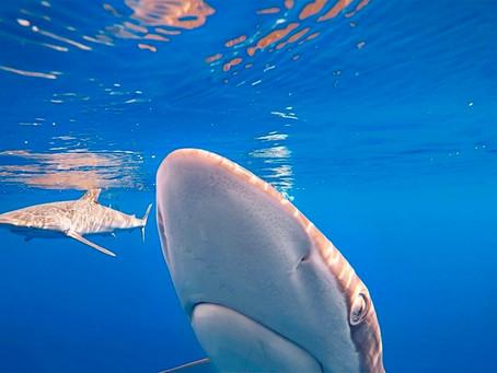 April Elasmobranch of the Month: Silky Shark