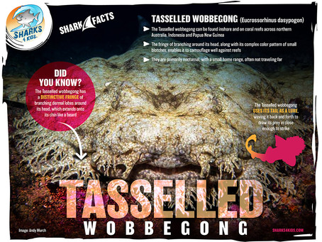 December Elasmobranch of the Month: Tasselled Wobbegong Shark