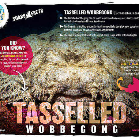 December Elasmobranch of the Month: Tasselled Wobbegong Shark