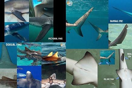 Shark FINS low.jpg