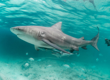 May Elasmobranch of the Month: Bull Shark