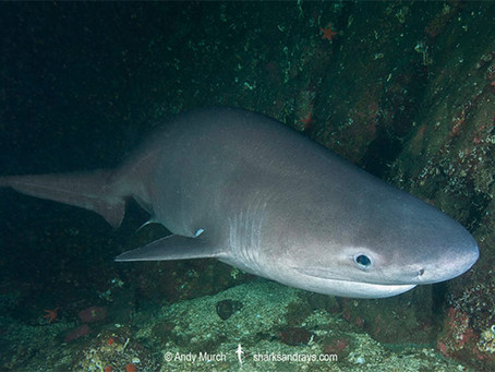 July Elasmobranch of the Month: Bluntnose Sixgill