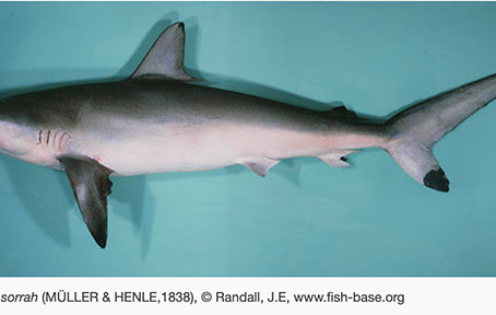 August Elasmobranch of the Month: Spot-Tail Shark