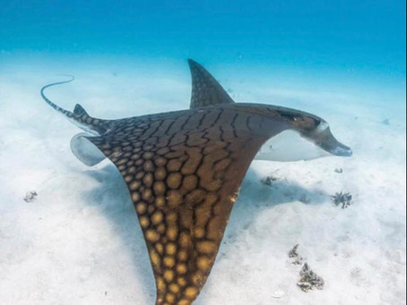 May Elasmobranch of the Month: Ornate Eagle Ray