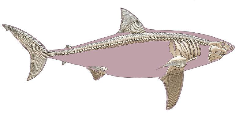shark skeleton.jpg