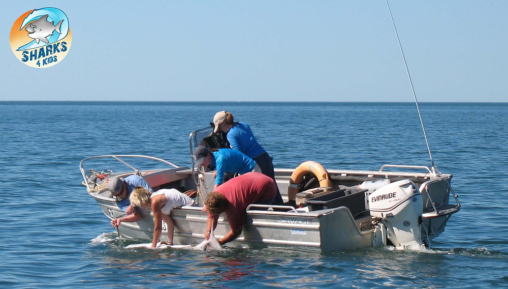 Shark Tagging Western Australia