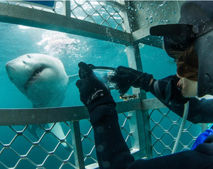 Jilly diving with great whites credit: Mike Coots