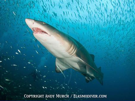 June Elasmobranch of the Month: Sand Tiger Shark