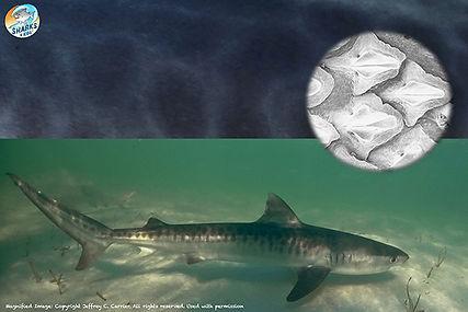 Tiger Shark Skin .jpg