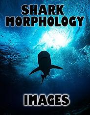 Sharkmorphologyactivity.images.jpg