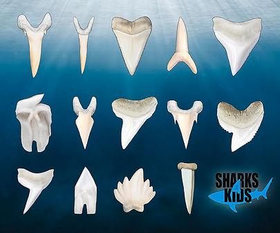 Different shark teeth.jpg