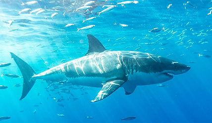 white shark fins.jpg