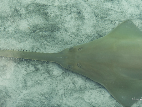 June 2015 Elasmobranch of the Month: Smalltooth Sawfish