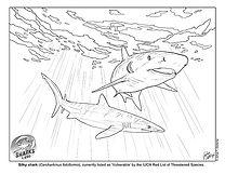 Carcharhinus-falciformis_Csotonyi_ low.jpg