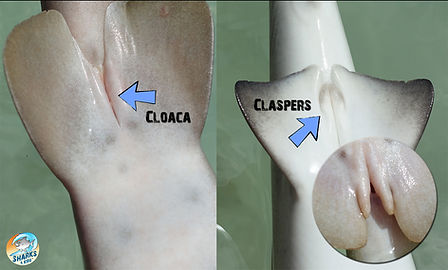 Shark Education Shark Reproduction.jpg