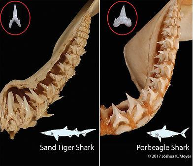 shark teeth lesson .jpg