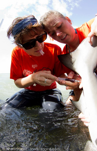 Leann taking a blood sample with the University of Miami shark tagging program