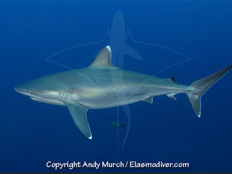 March Elasmobranch of the Month: Silvertip Shark