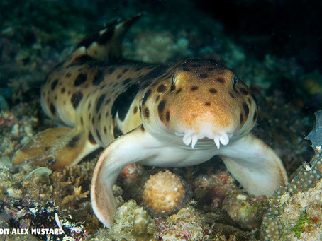 September Elasmobranch of the Month: Epaulette shark