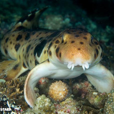 September Elasmobranch of the Month: Epaulette shark