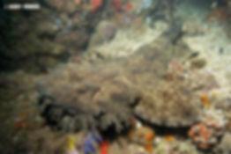 tasselled wobbegong AM.jpg