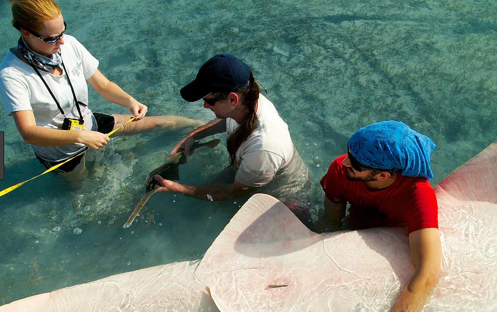 Dr. Dean Grubbs holding a newborn sawfish. His team taking measurements before release. Image: Andrea Kroetz