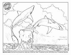 Spinner shark.jpg