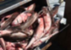 dogfish fishery.jpg