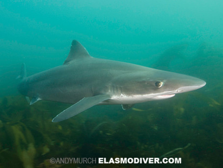 Feb Elasmobranch of the Month: Tope Shark