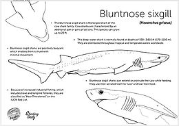 bluntnose sixgill coloring page.jpg