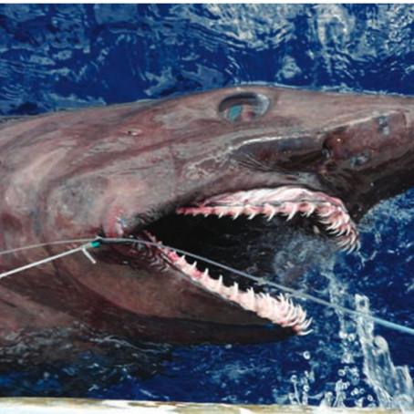 November Elasmobranch of the Month: Bigeye Sand Tiger Shark