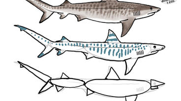 How to Draw a Tiger Shark with Dr. Julius Csotonyi