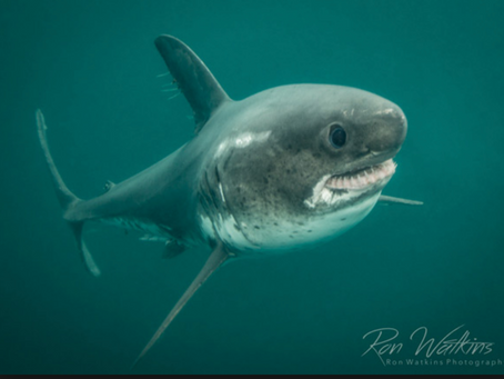 FEB 2019 Elasmobranch of the Month: Salmon Shark