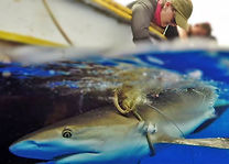 Bianca Rangel sharks.jpg
