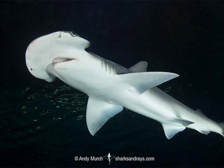 February Elasmobranch of the Month: Bonnethead Shark