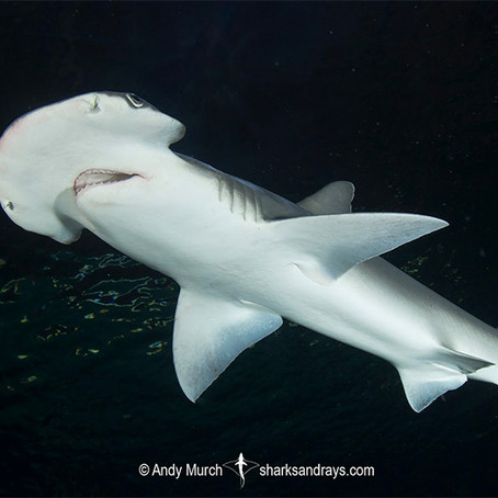 February Elasmobranch of the Month: Bonnethead Shark