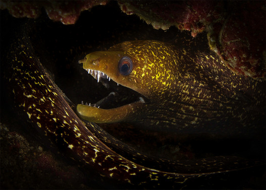 'Undulated Moray' by Michael  Loane - Commended