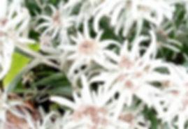 edelweiss flower.jpg