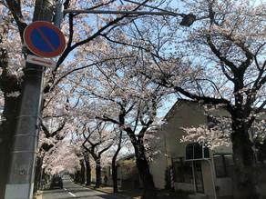 桜満開(#^^#)
