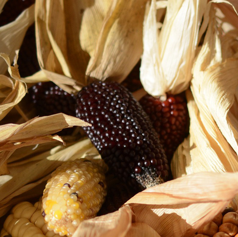 Health Benefits of Purple Corn (Zea mays L.) Phenolic Compounds
