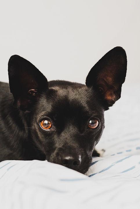 short-coated-black-dog-3417809.jpg