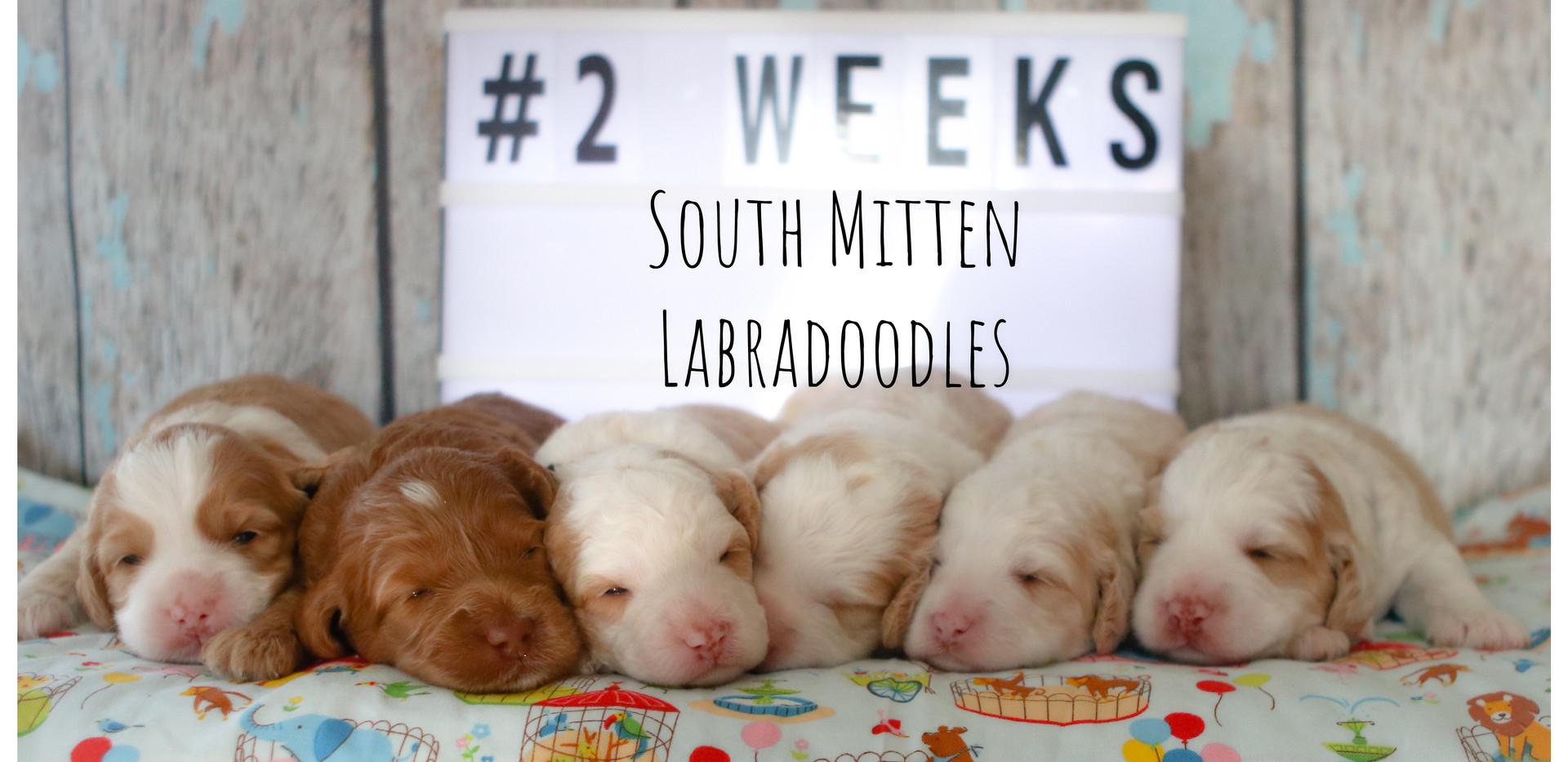 2 week puppy photos Leena/Walker litter
