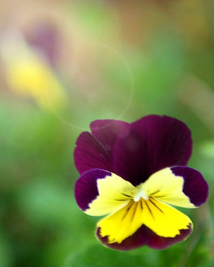 Purple%2520and%2520Yellow%2520Pansies%25