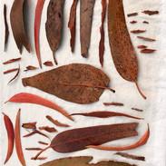 Eco printing results the varieties of Eucalyptus