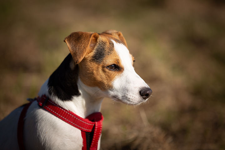 short-coated-brown-white-and-black-dog-w