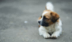 brown-and-white-st-bernard-puppy-on-sele