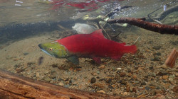 Male sockeye salmon on the spawning grounds_edited