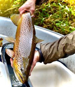 Male sea trout, River Villestrup